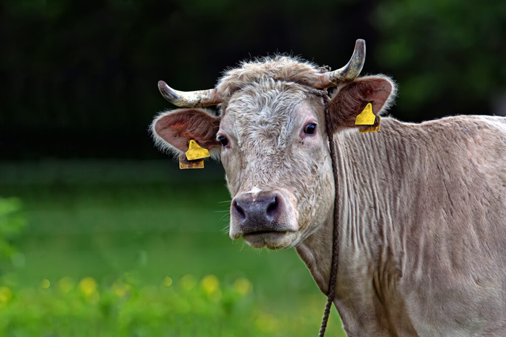 Cow in a clearing